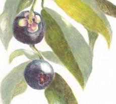 Exotic Mangosteen by Jane Gonzalez