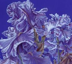 Iris Flurry by Kristy Kutch