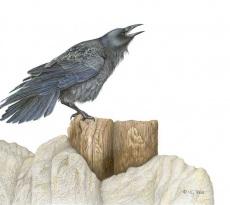 Corvus by Margaret Trent