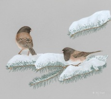 Juncos on Snowy Fir by Margaret Trent