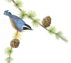 Red-breasted Nuthatch on Larch by Margaret Trent