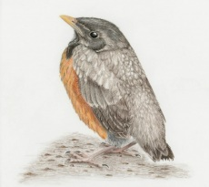 American Robin Fledgling by Margaret Trent