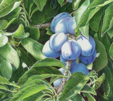 Plums by Mary Ritchie