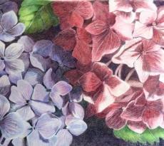 Blue and Pink Hydrangeas by Kay Dewar