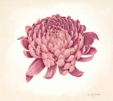 Chrysanthemum by Margaret Trent
